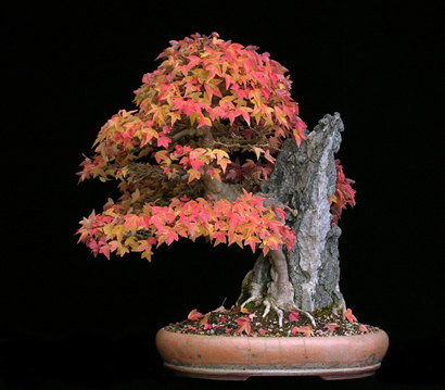 phongbonsai